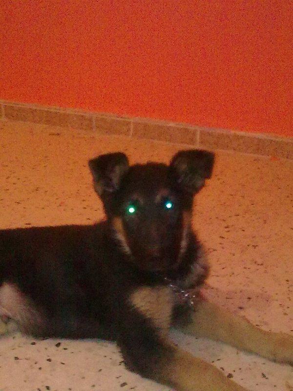 my lil dog (york)