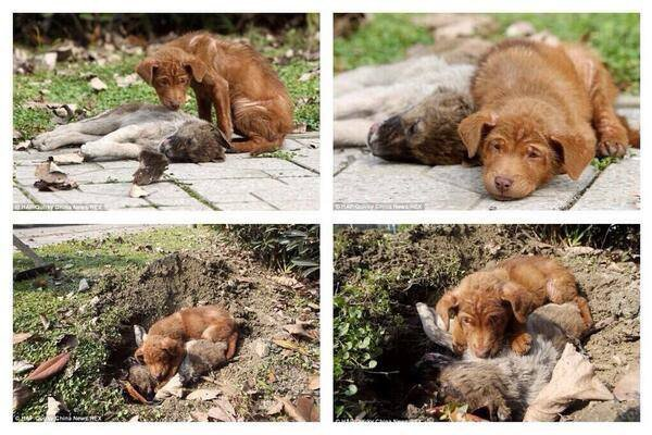 أخت هذا الكلب نفقت بحادث سيارة فرفض مفارقة جثتها ليومين،وعندما حفروا حفرة لدفنها، سبقها الى الحفرة .