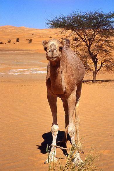chameau du sud maroc