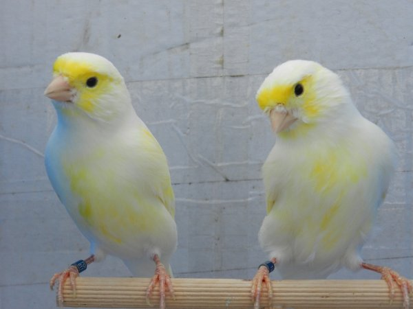 Maschi giallo mosaico