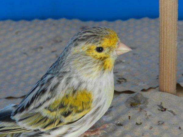 Maschio agata giallo mosaico
