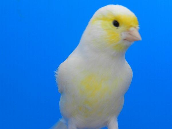 Maschio giallo mosaico