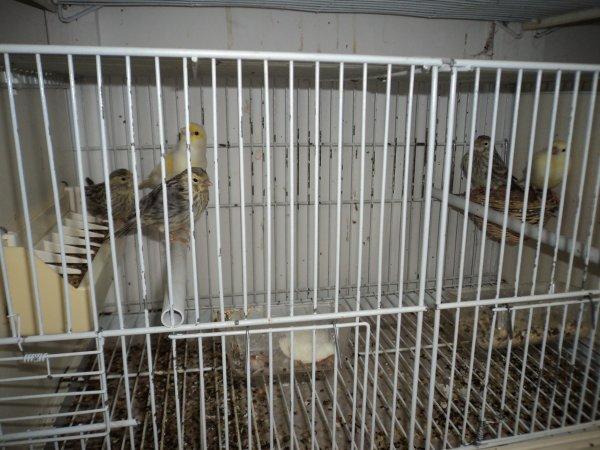 Altro maschio che svezza 3 agata e 1 giallo mosaico