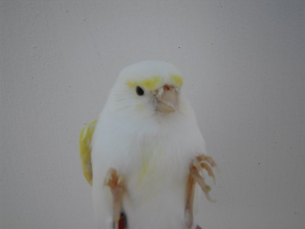Femmina giallo mosaico linea maschile
