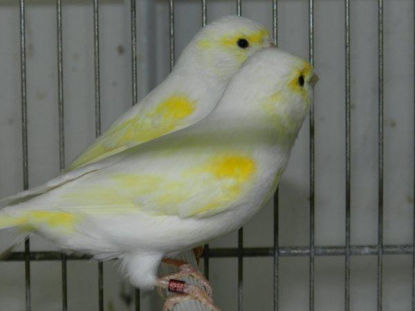 Maschi giallo mosaico linea femminile