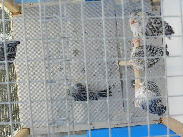 Agata giallo mosaico femmine