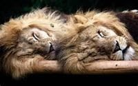 le lion d'Afrique est en danger !!!