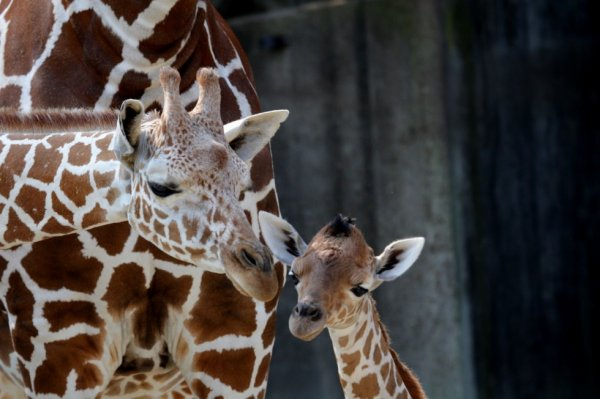 girafe à Beauval (41)