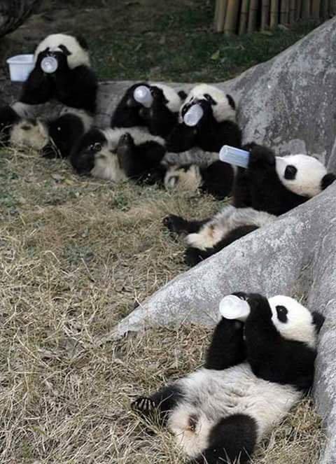 bande de pandas :)