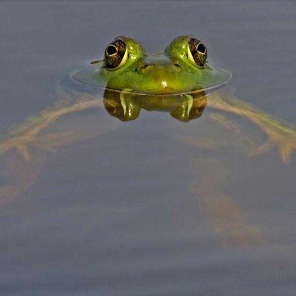 La position de la grenouille a la nage!