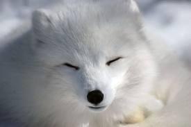 Le renard polaire