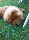 Photo de Chow-chow-isko