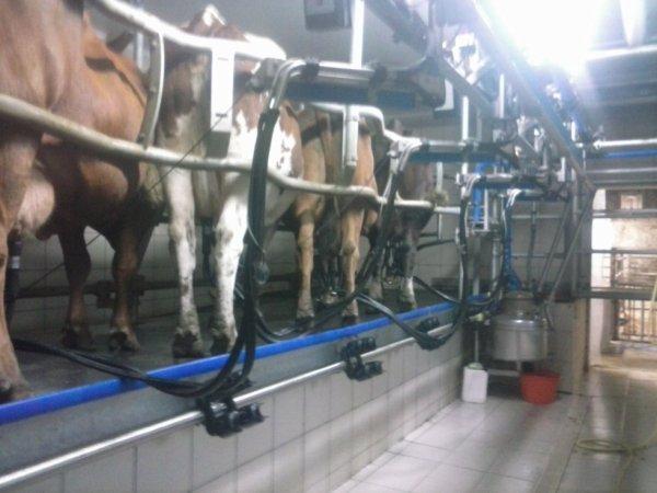 boulo avec les vaches !! :)