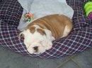 Photo de Hestelle-bulldog
