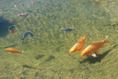 les poissons ont bien passé l'hiver