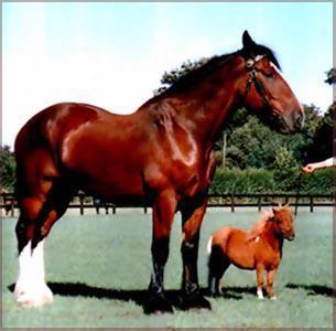 le cheval le plus grand du monde et le plus petit cheval du monde poney cheval grand galop. Black Bedroom Furniture Sets. Home Design Ideas