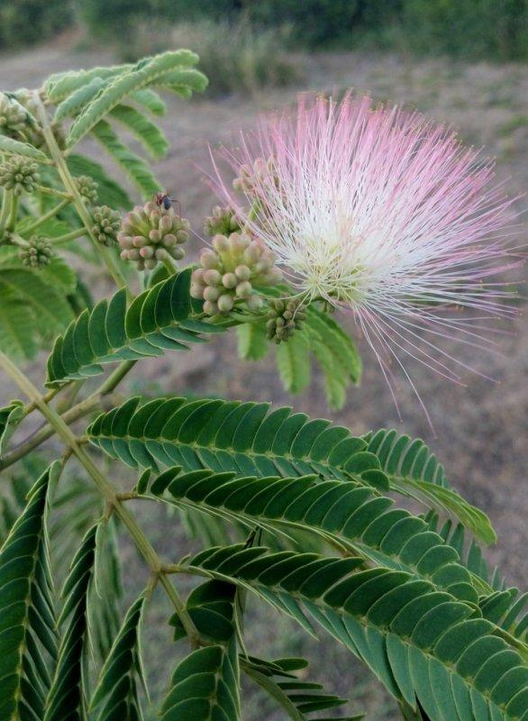 Albizia , arbre à soie