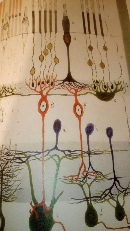 planche d'étude des Neurones,  vu par Cajal