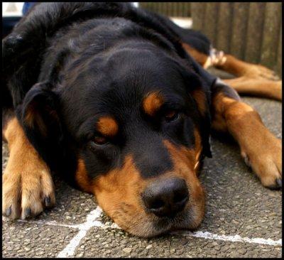 La faute au maître et non au chien !!!!