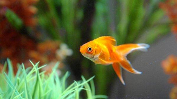 #Insolite : Le poisson rouge était un pompier pyromane !!