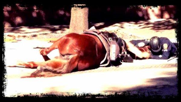 un policier américain accompagne son cheval à l'agonie ( Ému le net )