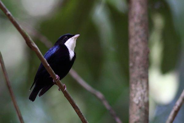 Le Manakin à gorge blanche. Corapipo gutturalis. Le mâle.