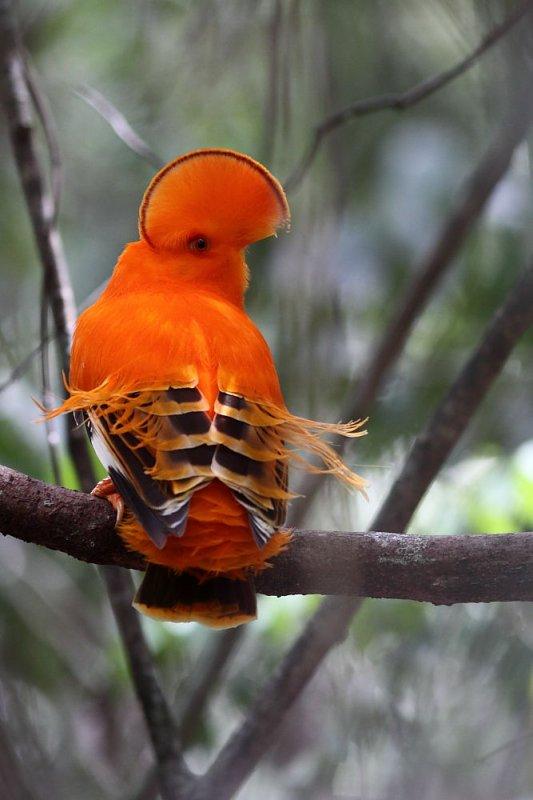 Le Coq de roche orange. Rupicola rupicola. Le mâle.