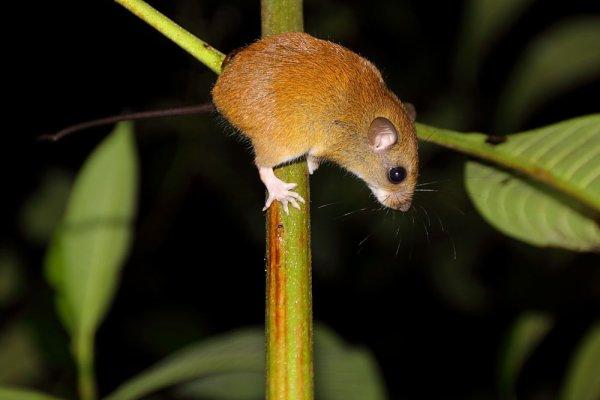 Une petite souris arboricole : Oecomys bicolor.