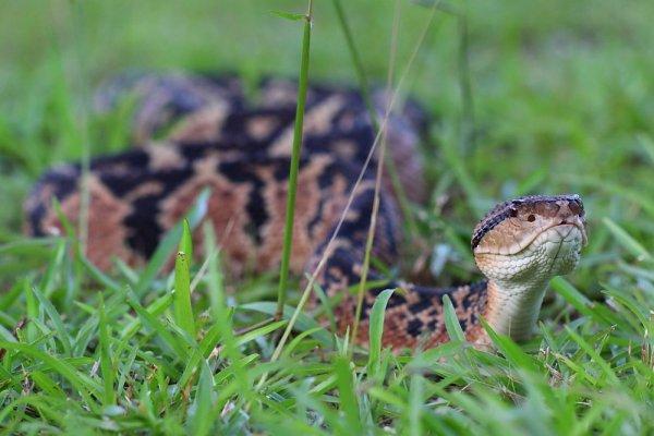 Lachesis muta. Le Grage grands carreaux. Le serpent venimeux par excellence en Amérique du Sud !!!!