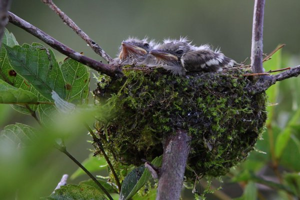Elénie à ventre jaune. Elaenia flavogaster.
