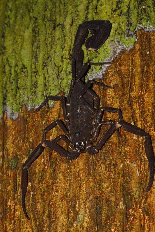 Tityus cambridgei. Le scorpion dangereux que nous avons en Guyane.