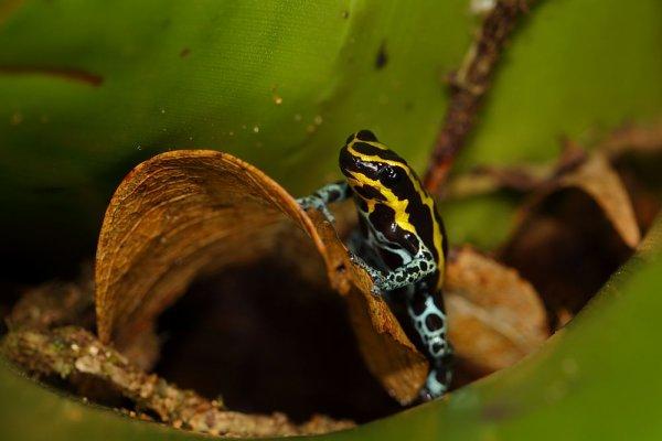 Dendrobates ventrimaculatus.