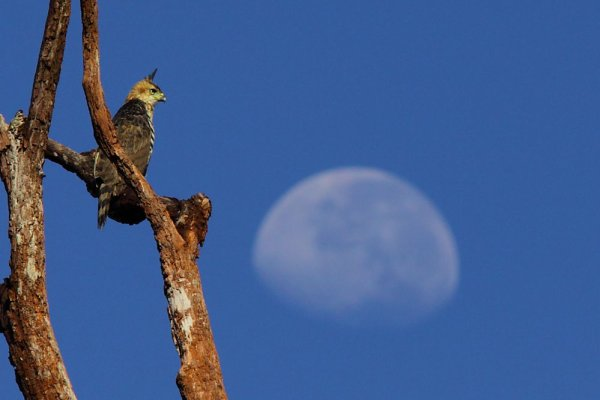 L'Aigle orné, immature. Spizaetus ornatus.
