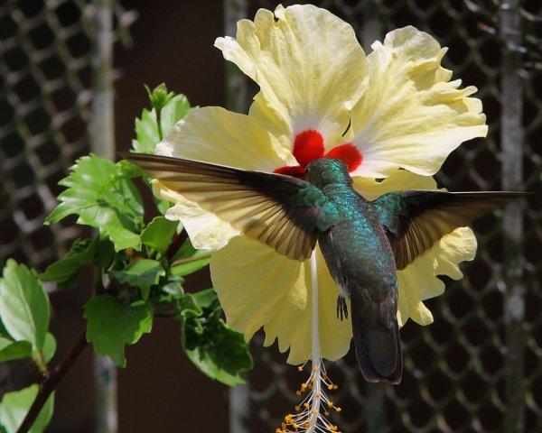 Colibri dans le jardin de la PAF. Une Ariane de linné il me semble.