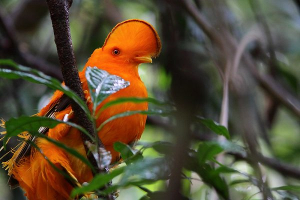 Le Coq-de-roche orange. Rupicola rupicola.