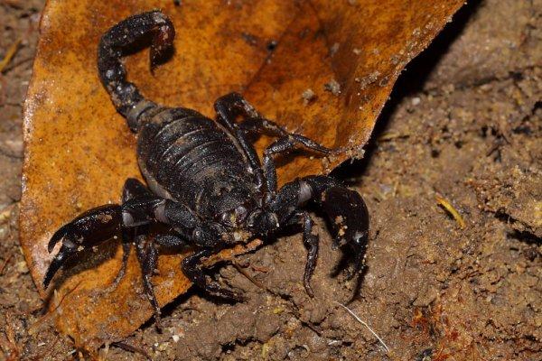 Scorpion commun de Guyane.