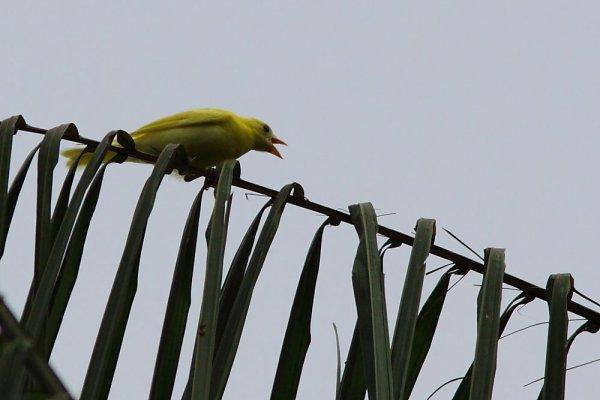 Thraupis palmarum. A mon avis, de cette couleur, ce n'est pas commun !!!!