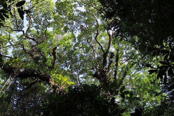 La Grimpe d'arbre en Guyane.
