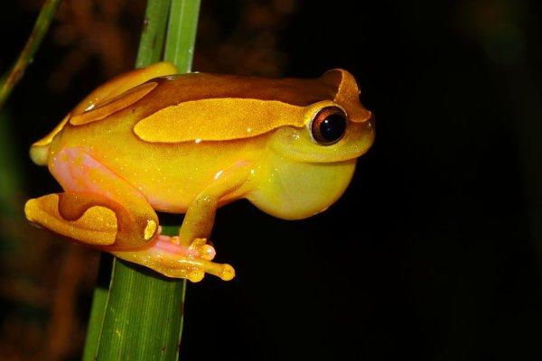 Dendropsophus leucophyllatus.