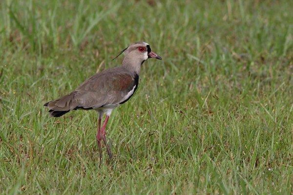 Vanneau téro. Vanellus chilensis.
