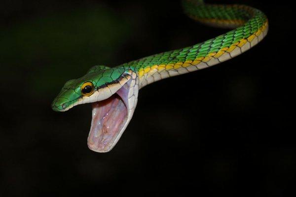 Mes serpents de Guyane.