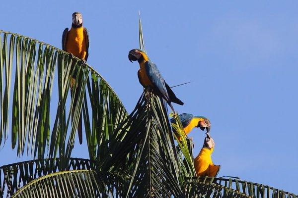 Aras araraunas à Ouanary, en Guyane.