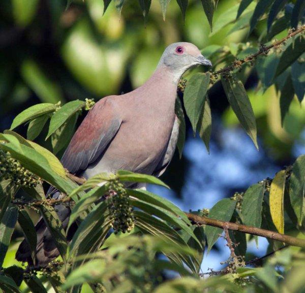 Un grand groupe de Pigeons roussets tôt le matin.