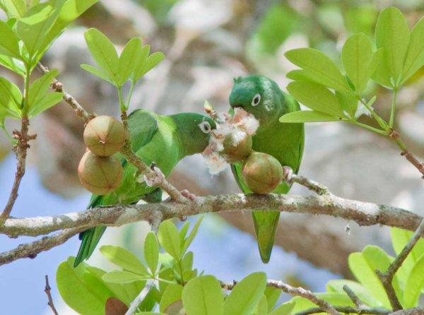 Les Touis paras se délectent de ce fruit dans Saint-Georges.