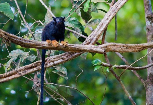 Le Tamarin à mains dorées. Le plus petit singe de Guyane.