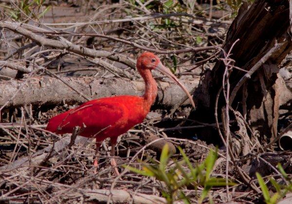 L'ibis rouge.