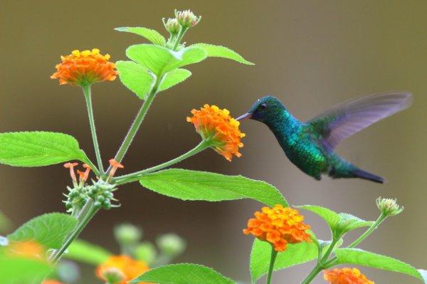 Colibri à menton bleu dans le jardin du voisin...