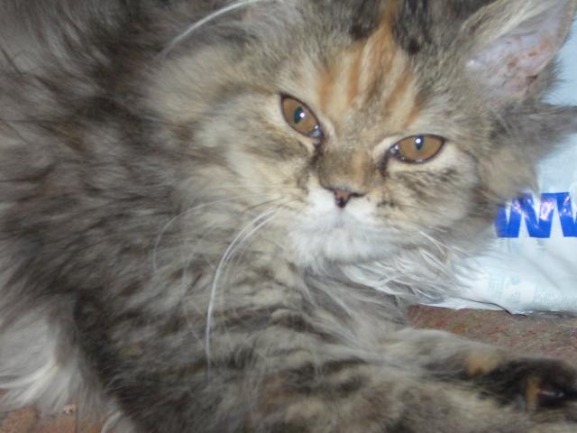 chats persans et yorkshire