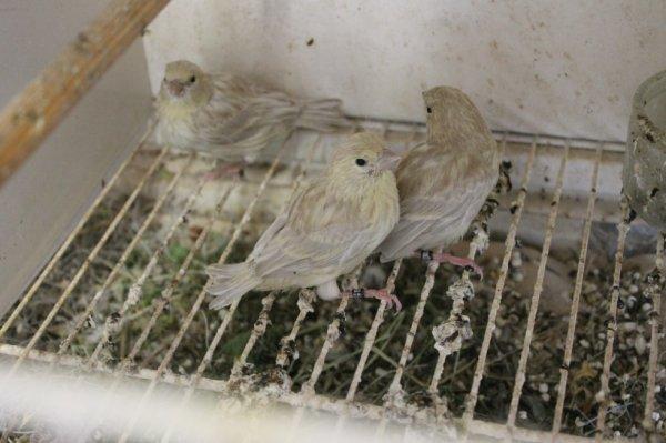 3 oiseaux du meme nid brun opale msj 2013