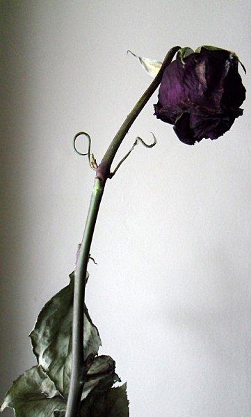 cette rose et fane comme ton amour pour moi